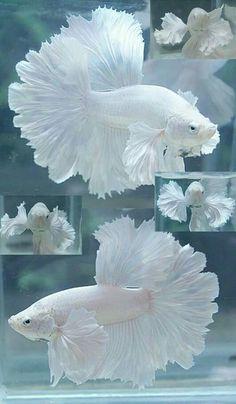 ❥ White Betta Fish~ what beautiful lacey fins! I actually might get some fish ! ❥ White Betta Fish~ what beautiful lacey fins! I actually might get some fish ! Pretty Fish, Cool Fish, Beautiful Fish, Beautiful Tropical Fish, Beautiful Family, Beautiful Flowers, Beautiful Creatures, Animals Beautiful, Cute Animals