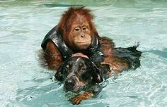 After losing his parents, this 3 year old orangutan was so depressed he wouldn't eat and didn't respond to any medical treatments. The veterinarians thought he would surely die from sadness. The zoo keepers found an old sick dog on the grounds in the park at the zoo where the orangutan lived and took the dog to the animal treatment center. The dog arrived at the same time the orangutan was there being treated. The 2 lost souls met and have been inseparable ever since.