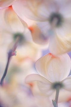 bellasecretgarden:  ~~Under the skirts of flowers   macro photography   by Francois Casanova~~ (via Pinterest: Discover and save creative ideas)