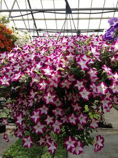 Power Flowers - Petunia Blanket Rose Star