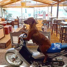 The her easy rider #skiathos #dog #easyrider #skathosrepost #skiathosplanespotting Skiathos, Easy Rider, Scooby Doo, Greece, Island, Photo And Video, Dogs, Instagram, Art