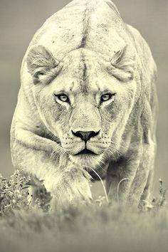 640-Monochrome-Lions-l