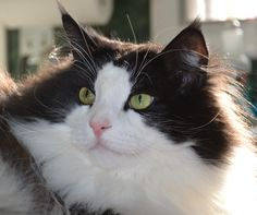 Ken, 5yr old Norwegian Forest Cat