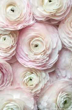 Lovely Clusters - Beautiful Shops: Paris Flower Photography - Cloni Ranunculus