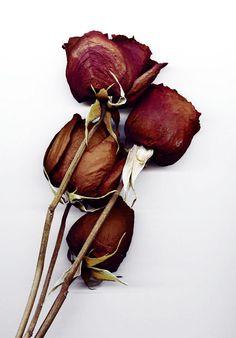Dead Roses by ShadowSTOCKCat
