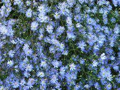 Klisaz Shop (Unique acessories and rare seeds): Jual benih / seeds / bibit flower (bunga sky blue ...
