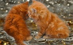 View album on Yandex. Fluffy Kittens, Cats And Kittens, Kitty Cats, Ginger Kitten, Orange Kittens, Christmas Kitten, Kitten Meowing, Hd Backgrounds, Cat Love