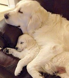 Astonishing Everything You Ever Wanted to Know about Golden Retrievers Ideas. Glorious Everything You Ever Wanted to Know about Golden Retrievers Ideas. Animals And Pets, Baby Animals, Funny Animals, Cute Animals, Chien Golden Retriever, Cute Puppies, Dogs And Puppies, Puggle Puppies, Collie Puppies