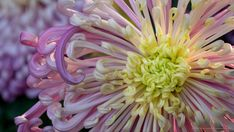 One of the highlights of fall for flower lovers in the Washington DC area is the Chrysanthemum Show at Longwood Gardens in Kennett Square, Pennsylvania. Every November, the Longwood Conservatory is…