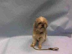 SAFE 1-22-2016 by Anarchy Animal Rescue --- Brooklyn Center TAMMY – A1062785  FEMALE, BROWN / WHITE, SHIH TZU, 5 yrs SEIZED – EVALUATE, HOLD FOR EVICTION Reason OWN EVICT Intake condition UNSPECIFIE Intake Date 01/12/2016