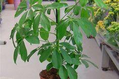 ☑︎ Schefflera - Växten är sannolikt ofarlig