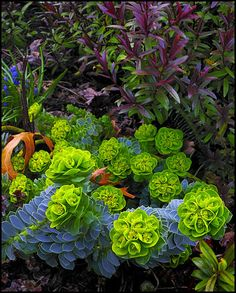 Donkey Tail Euphorbia - Brilliant for shady areas, it seems!