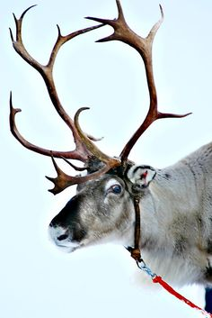 Antlers are distinct deer features. Antlers have evolved into different shapes and sizes. Antlers primarily serve a sexual function to display to females, and Mundo Animal, My Animal, Beautiful Creatures, Animals Beautiful, Animals And Pets, Cute Animals, Moose Deer, Deer Family, Santa And Reindeer