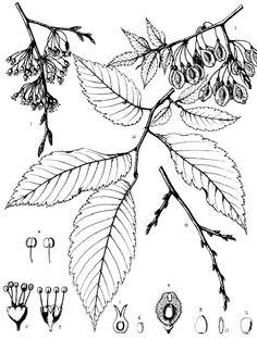 Illustrations of Common Eastern United States Trees - Charles Sprague Sargent : Illustration of American Elm - Charles Sprague Sargent Tree Leaf Plate