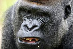 Bigger Gorillas Better At Attracting Mates And Raising Young - Science News - redOrbit Big Gorilla, Underwater Creatures, Reptiles, Beast, Science News, Monkeys, Animals, Affiliate Marketing, Raising