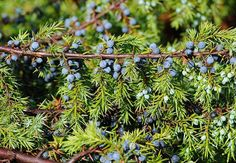 Handsome pine-Juniper Garden (50 photos): planting and care of the plant