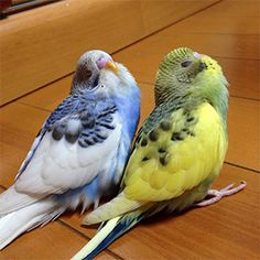 "Budgerigars Bitter chocolate bird photo contest vol.027 theme ""doze off"" results announcement"