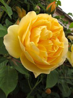 https://flic.kr/p/mC1TEw | 'Graham Thomas' rose | Large flowered, yellow climbing rose