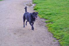 black dog of Pet Photos, Labrador Retriever, Thing 1, Dog, Pets, Animals, Black, Labrador Retrievers, Animals And Pets