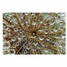 Trademark Global Tanya Markova 'Droplets On Dandelion' Canvas Art - 35 x 2 x 35 Wallpaper Roll, Embossed Wallpaper, Photo Wallpaper, Geometric Wallpaper Murals, Painting Prints, Art Prints, Canvas Art, Canvas Prints, Nature