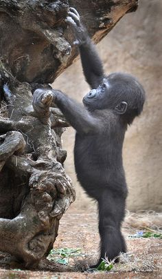 Nine month old gorilla Monroe plays at the San Diego Zoo's Safari Park. Monroe is the first gorilla to be born at the park in a decade.