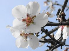 In the Garden: Alkanet and Almond |