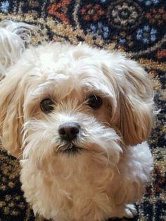 Best Dog Ever! Shipoo