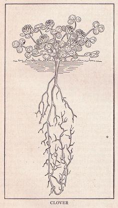 Clover ~ public domain illustration, 1917.