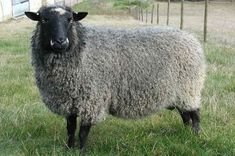 I like this one  Breeds of Livestock - Romney Sheep — Breeds of Livestock, Department of Animal Science