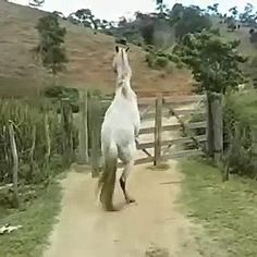 Funny Horse Videos, Funny Horses, Cute Animal Videos, Funny Animal Pictures, Funny Horse Sayings, Pretty Horses, Beautiful Horses, Animals Beautiful, Cute Funny Animals