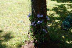 Installer une clématite au pied d'un arbre