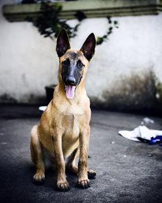 Belgian Malinois trained in Schutzhund. Belgium Malinois, Belgian Malinois Dog, Big Dogs, I Love Dogs, Cute Dogs, Military Working Dogs, Military Dogs, Belgian Shepherd, German Shepherd Dogs