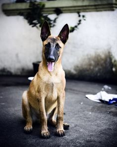 Own a Belgian Malinois & train it in Schutzhund.