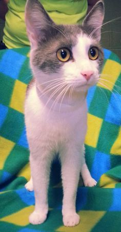 Blu is a beautiful, regal 1-year old male cat. He is extremely friendly, curious, affectionate and sweet. Blu doesn't particularly like being picked up, but you can certainly pet him to your heart's content. He is up to date on shots and is litter...