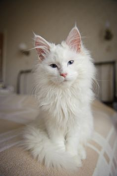 My next addition to the family will be : a White Maine Coon. I had a Maine Coon/orange tabby mix named Mellow who's been missing for a year this May 2013. Sweetest cat I ever had. I will have me another one day♥