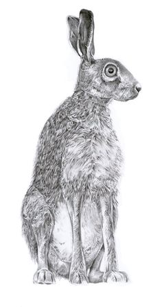 hare illustration - reminds me of the 'rabbit' I saw in the northern lights photo