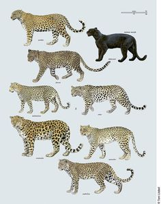 tonillobet_wildlifeart_leopards1_plate