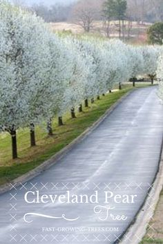 The Cleveland Pear Tree is a perfectly uniform tree that grows completely symmetrical, perfect for front yards! art design landspacing to plant Dogwood Trees, Pear Trees, Trees And Shrubs, Flowering Trees, Trees To Plant, Fruit Trees, Outdoor Landscaping, Landscaping Plants, Outdoor Plants