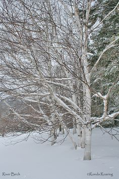 The river birch is a native tree to the Finger Lakes.