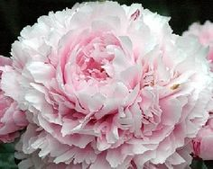 Sarah Bernhardt Peony...soft seashell pink, has a slight red edging in the middle of the flower, fragrant, slow grower, many stems...