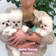 White Pomeranian, Teacup Pomeranian, Pomeranian Puppy, Teacup Puppies For Sale, Adorable Puppies, Ancient Mysteries, Cat Valentine, Pomeranians, Cute Little Animals