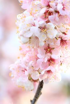 Fairy shoot against Pink Blossom