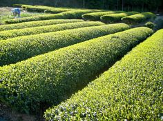 Visit a Japanese Green Tea Plantation with www.toursgallery.com