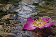 """""""Where the wild roses grow. Growing Roses, Plants, Water, Photos, Gripe Water, Pictures, Plant, Planets"""