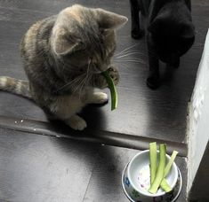 The short answer is yes, cats can safely eat cucumber. In fact, cucumber contains a decent amount of health benefits for a cat, mostly in the form of its good vitamin, nutrient and water content. Funny Cats, Funny Animals, Cute Animals, Crazy Cat Lady, Crazy Cats, Cats And Cucumbers, Pretty Cats, Cat Life, Cool Cats