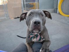 SKY - A1095203 - - Brooklyn  Please Share:TO BE DESTROYED 11/10/16 **GIVEN ANOTHER CHANCE – MAKE IT COUNT**  A volunteer writes: We've all heard that the sky is the limit, so it's appropriate that as far as being sweet, cuddly and adorable…Sky is the limit! She has been very easy to handle on all of our walks, except when she saw a favorite staff member and we had to hurry over to him (and then stay in one spot and look longingly in the direction he