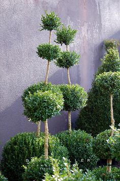 boxwood topiaries.