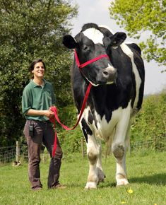 Chilli the cow is 6ft 6inches tall and weighs well over a ton-- taller than most horses, and the same size as a small elephant!    http://www.dailymail.co.uk/sciencetech/article-565909/Pictured-The-giant-6ft-cow-big-small-elephant.html