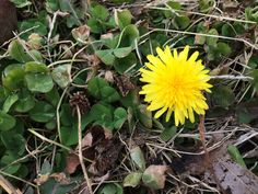 This year, I found my first dandelion blooming mid-January 2017, a new early record.