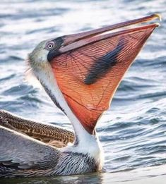 Pelican about to chow-own on a fish he just dive-bombed! Love Birds, Beautiful Birds, Animals Beautiful, Nature Animals, Animals And Pets, Cute Animals, All Gods Creatures, Sea Creatures, Animal Pictures